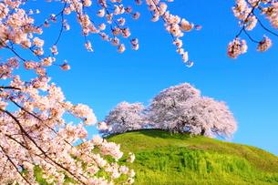 さきたま古墳の桜の写真素材 [FYI01635346]
