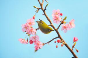 河津桜にとまるメジロの写真素材 [FYI01635391]