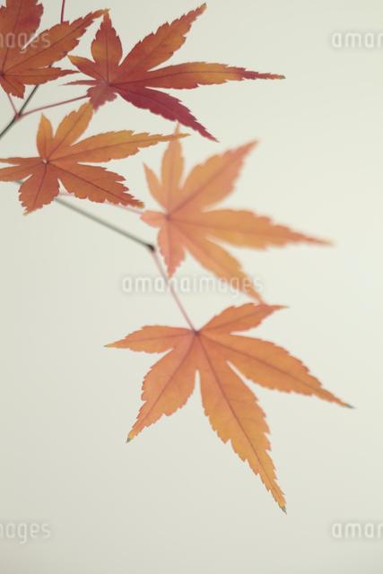 紅葉の写真素材 [FYI01635617]