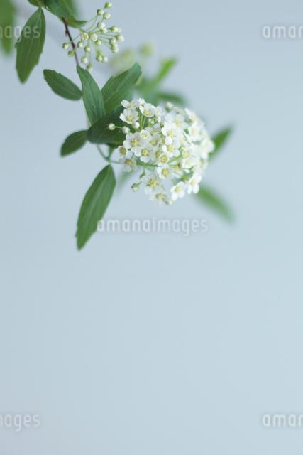 小手毬の写真素材 [FYI01635639]