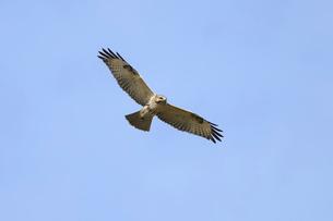 獲物を探して飛ぶノスリの写真素材 [FYI01635685]