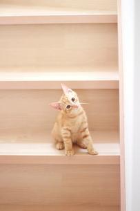 小首をかしげる茶トラの子猫の写真素材 [FYI01635720]