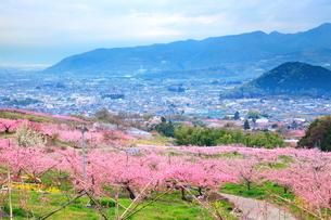 塩山の桃の花畑の写真素材 [FYI01635820]