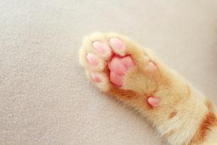 ピンクの肉球の写真素材 [FYI01635887]