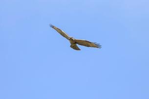 獲物を探して飛ぶノスリの写真素材 [FYI01636023]
