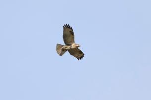 獲物を探して飛ぶノスリの写真素材 [FYI01636064]