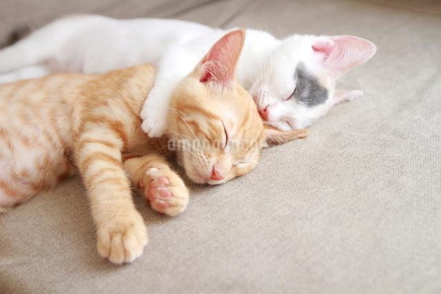 2匹で眠る子猫の写真素材 [FYI01636208]