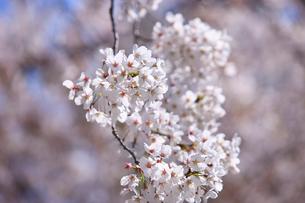 東山動物園の桜の写真素材 [FYI01636217]