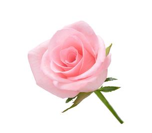ピンク色のバラの写真素材 [FYI01636382]