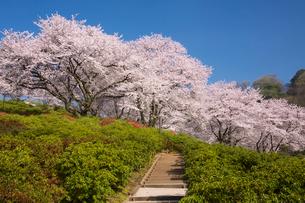 桜咲く西山公園の写真素材 [FYI01636934]