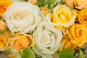 白と黄色のばら の写真素材 [FYI01637395]