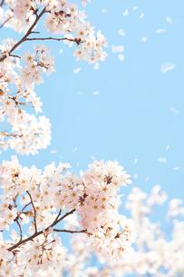 青空の下で舞う桜吹雪の写真素材 [FYI01637664]