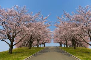 青空と土手沿いの桜並木の写真素材 [FYI01637958]