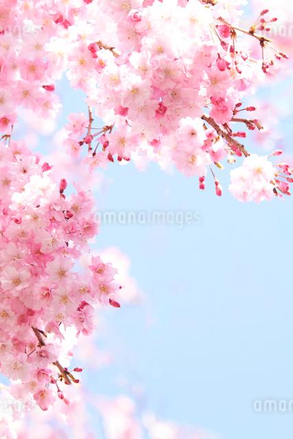 青空の下で咲く鮮やかな桜の写真素材 [FYI01638246]