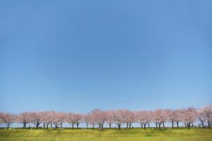 大空と土手沿いの桜の写真素材 [FYI01638367]