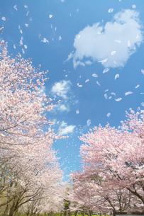 桜舞い散る並木道の写真素材 [FYI01638816]