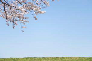 大空と土手沿いの桜の枝の写真素材 [FYI01638841]