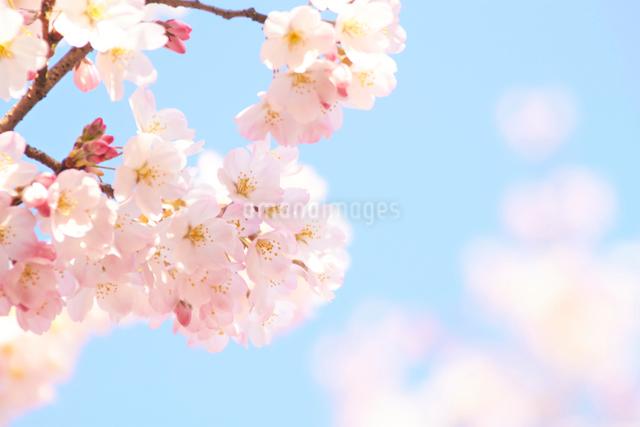 青空の下で咲く鮮やかな桜の写真素材 [FYI01638853]
