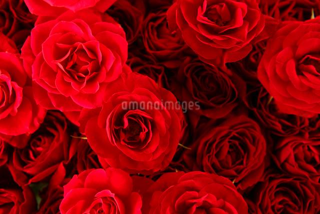 赤い薔薇の写真素材 [FYI01639474]