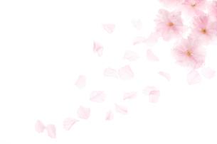 サトザクラの花の写真素材 [FYI01640373]
