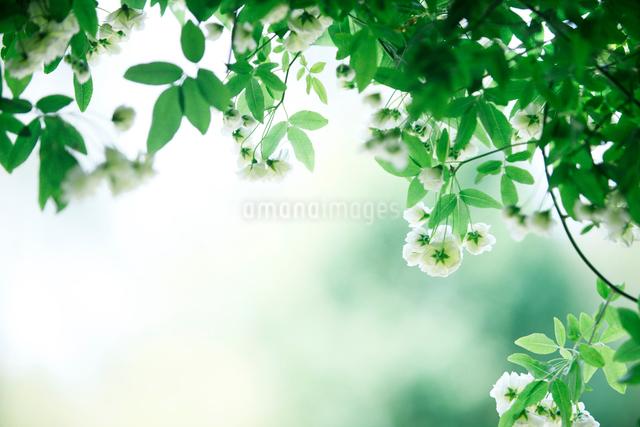 バラの写真素材 [FYI01640527]