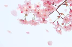 桜と散る花びらの写真素材 [FYI01640531]
