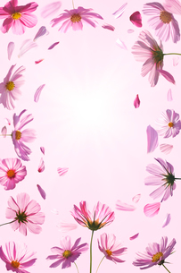 コスモスと舞い散る花びらの写真素材 [FYI01640621]