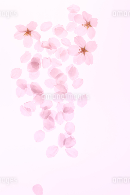 並べたソメイヨシノと花びらの写真素材 [FYI01640647]