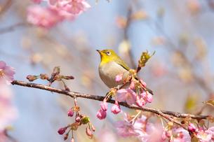 河津桜とメジロの写真素材 [FYI01641426]