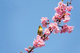 河津桜とメジロの写真素材 [FYI01641501]