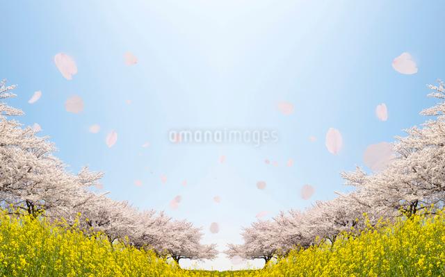 桜並木の写真素材 [FYI01641816]