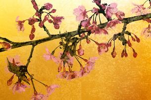 桜と金屏風(フォトイラスト)のイラスト素材 [FYI01641913]
