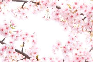 河津桜の写真素材 [FYI01642475]