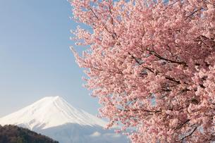 河口湖からの富士山と桜の写真素材 [FYI01642856]