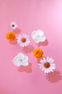 白とピンクのデイジー・オレンジのマリーゴールド・白いアジサイ(生花)の写真素材 [FYI01643356]