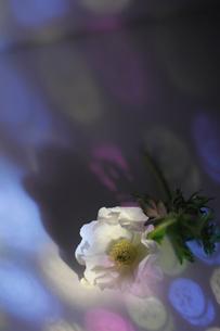 白いフレッシュアネモネに当たる色ガラスの光の写真素材 [FYI01643362]