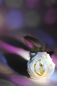 白いフレッシュバラに当たる色ガラスの光の写真素材 [FYI01643378]