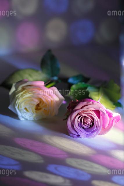 白いフレッシュバラとピンクのフレッシュバラに当たる色ガラスの光の写真素材 [FYI01643386]