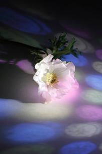 白いフレッシュアネモネに当たる色ガラスの光の写真素材 [FYI01643420]