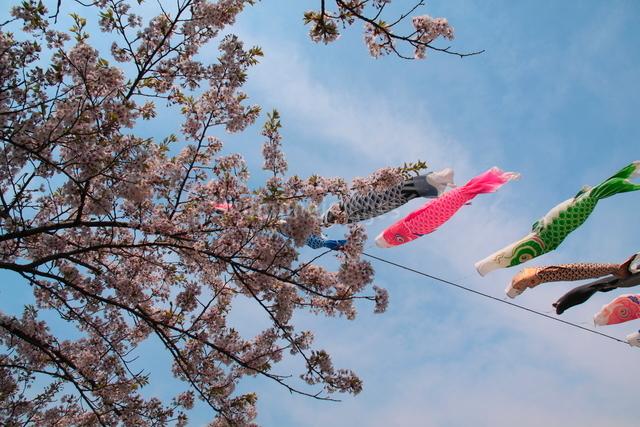 鯉のぼりと桜の写真素材 [FYI01643554]