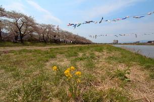鯉のぼりと桜の写真素材 [FYI01643567]