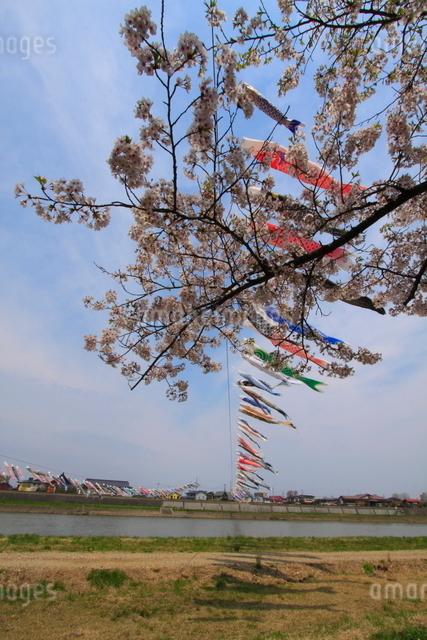 鯉のぼりと桜の写真素材 [FYI01643616]