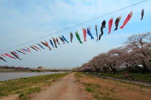 鯉のぼりと桜並木の写真素材 [FYI01643618]