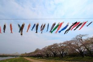 鯉のぼりと桜並木の写真素材 [FYI01643619]