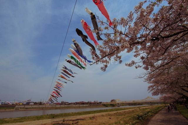 鯉のぼりと桜並木の写真素材 [FYI01643673]