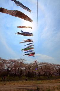 鯉のぼりと桜の写真素材 [FYI01643692]