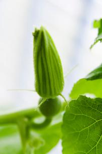 薬用植物 かぼちゃのつぼみの写真素材 [FYI01644114]