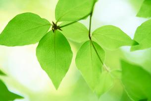 新緑の葉っぱの写真素材 [FYI01644236]