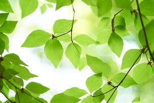 新緑の葉っぱの写真素材 [FYI01644433]