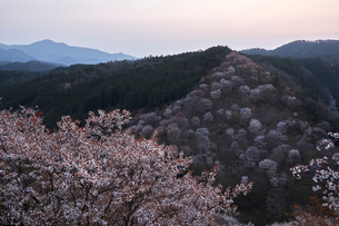 吉野桜の夜明けの写真素材 [FYI01644580]